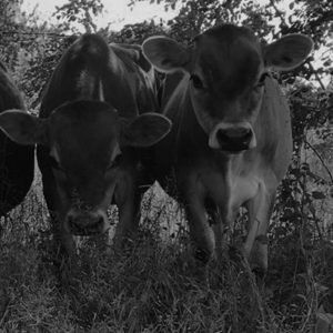 Cow bw