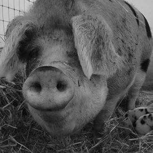 Pig dark