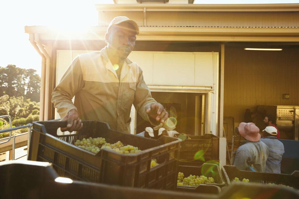 Black farmer unloading grape boxes