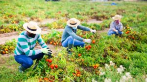 Group of farmworkers wearing masks, harvesting tomoatoes