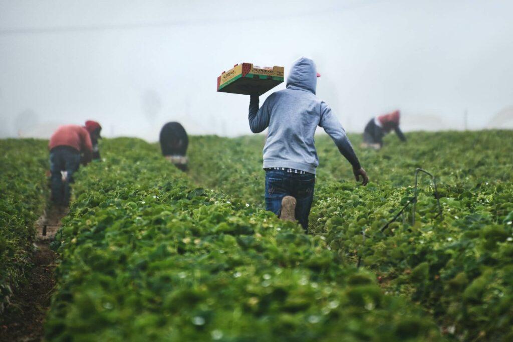 Farm laborers harvest strawberries in field