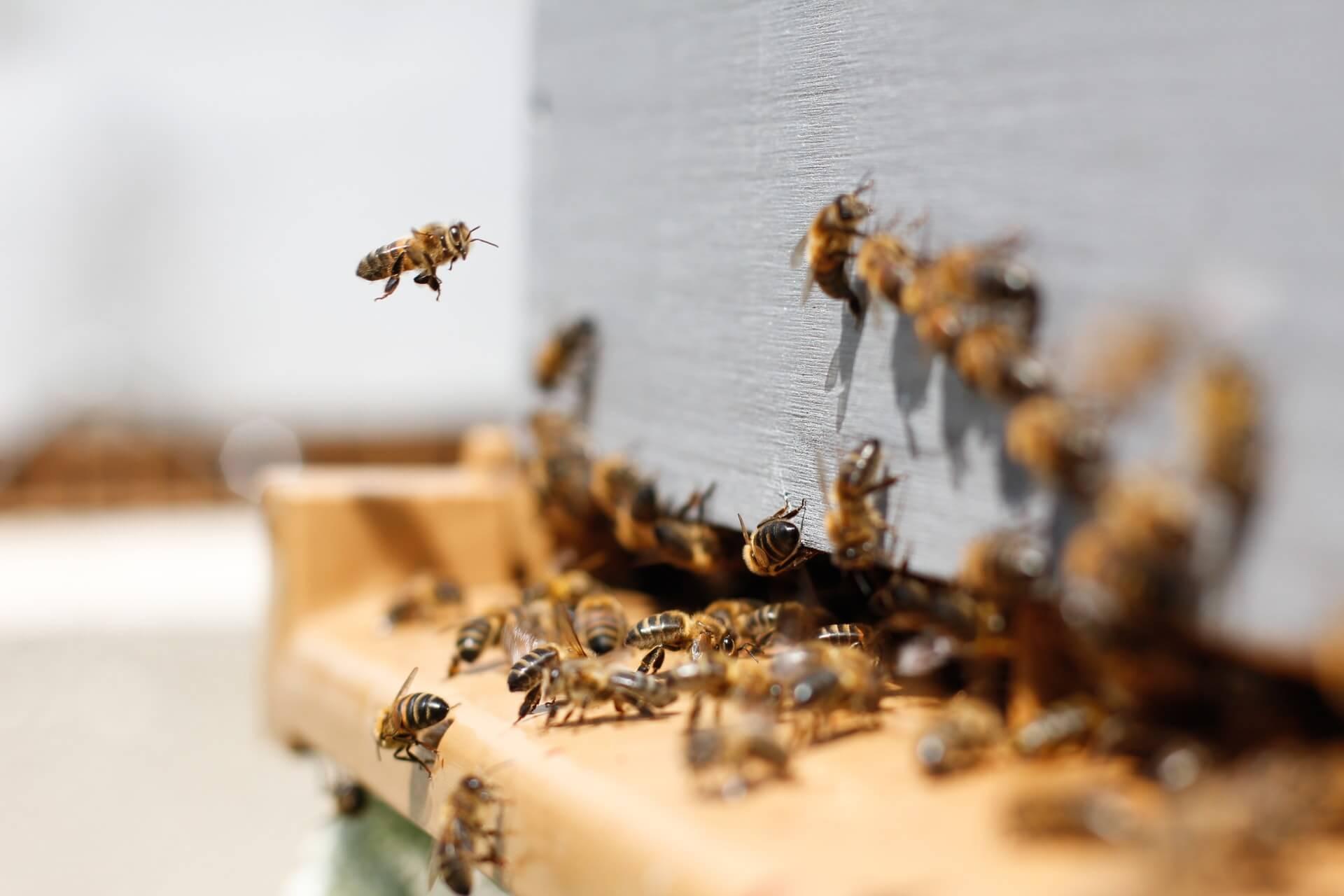Dozens of bees working